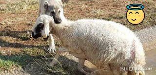 Kangal Boğulmakta Olan Koyunu Kurtardı