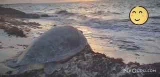 Kaplumbağanın Hayatını Kurtaran Kahraman Turist!