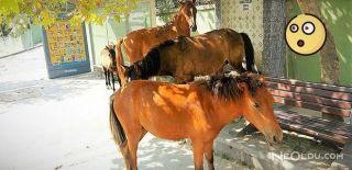Aç Kalan Atlar Şehri Bastı!