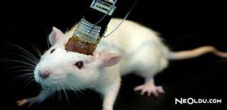 Fare Beynini Kontrol Edebilen Sistem Geliştirildi