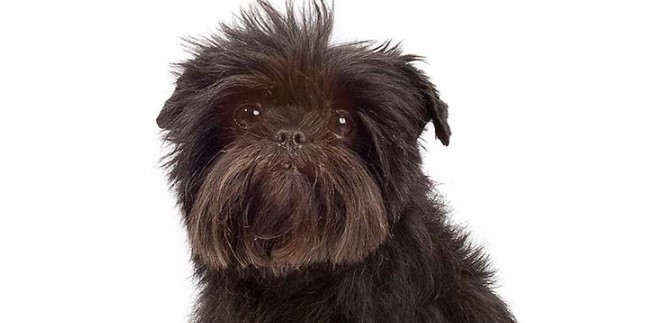 Afgan tazı - karakter ve kendine saygılı köpekler