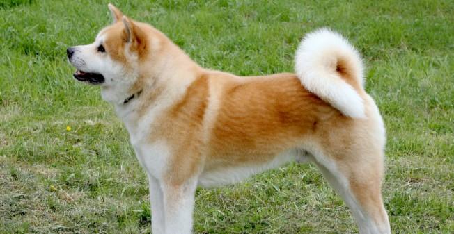Akita Köpeği