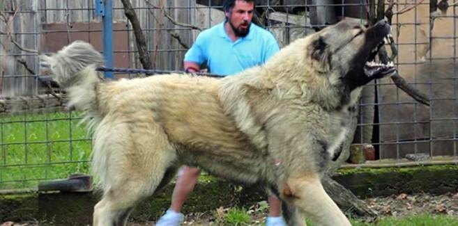 Alabay Köpeği
