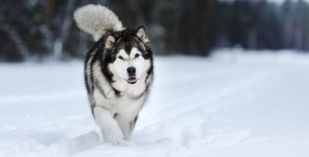Alaska Kurdu