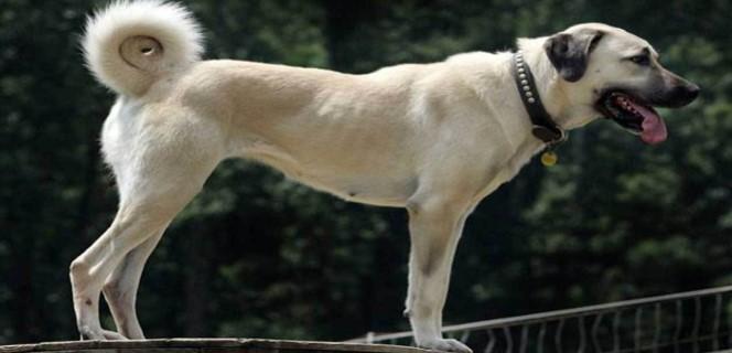 Anadolu Çoban Köpeği