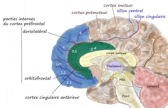 anterior-singulat-korteks.png
