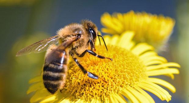 arı kanat çırpma hızı