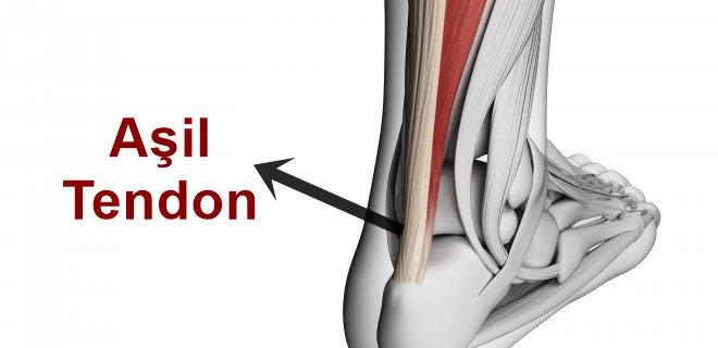 asil-tendon.jpg