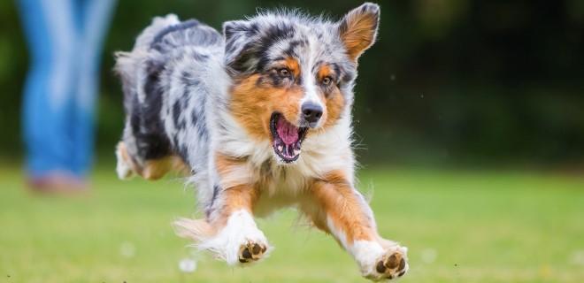 Avustralya Çoban Köpeği