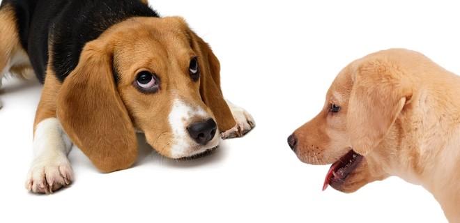 Beagle Köpeği