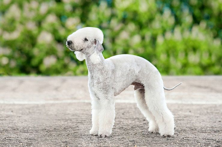 bedlington-terrier.jpg