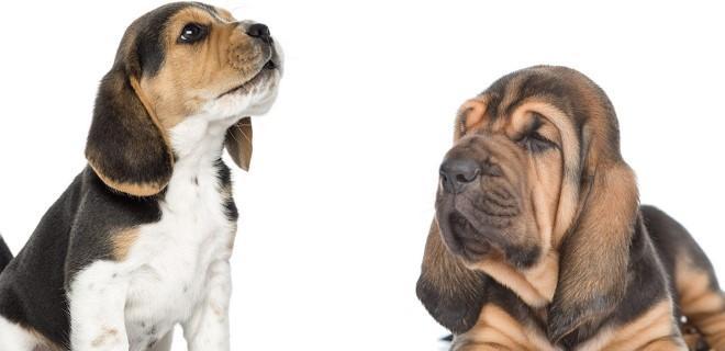 bloodhound3.jpg
