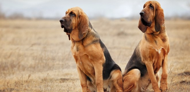 bloodhound5.jpg