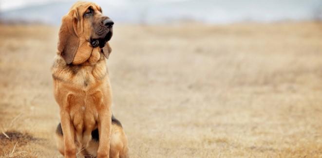 bloodhound6.jpg