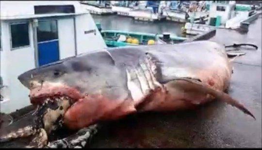 Boğulan Köpekbalığı