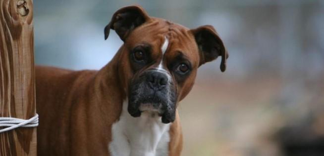 Boxer Köpeği