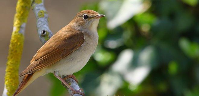 Bülbül Kuşlarının Kafesleri Nasıl Olmalı?