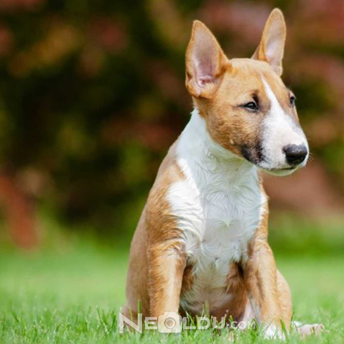 Bull Terrier Cinsi Köpek