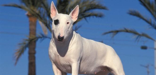 bull-terrier.jpg