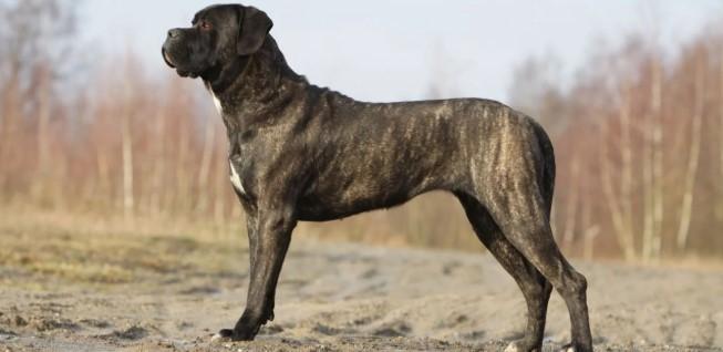 Cane Corso İtaliano Köpeği