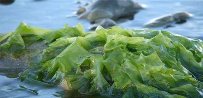 deniz-yosunu.jpg