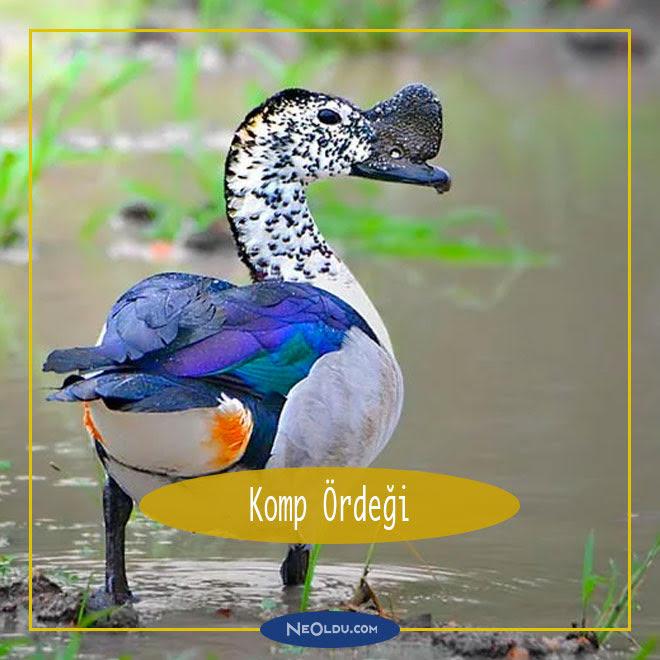 Dünyanın En Güzel Ördekleri