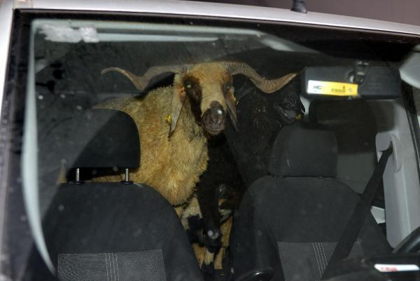 Dur İhtarına Uymadı Koyunları Araçta Bıraktı