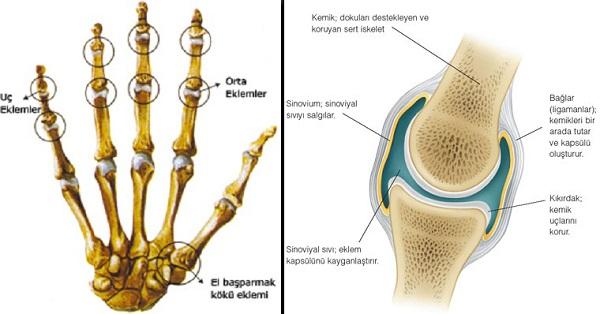 El Eklemi ve Eklem Yapısı