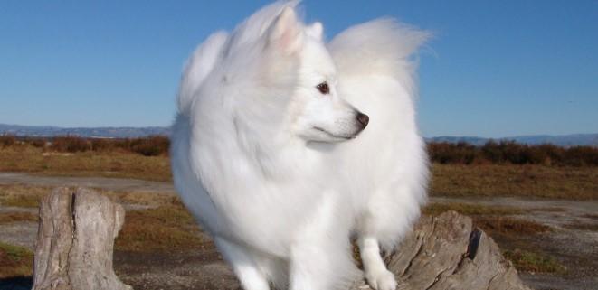 Eskimo Köpeği