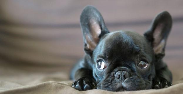 fransiz-bulldog-kopegi.jpg