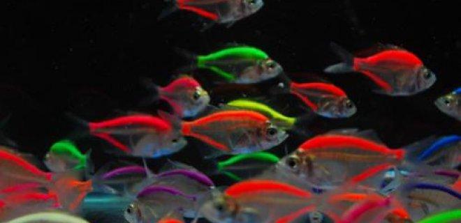 Gökkuşağı Balığı Üremesi