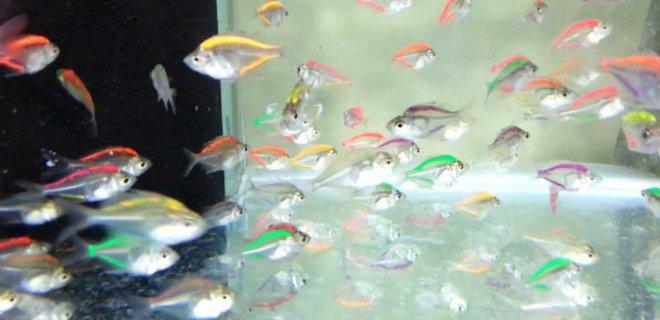 Gökkuşağı Balığı Özellikleri