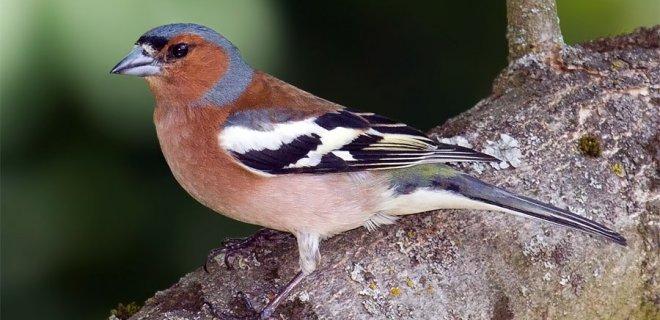 İspinoz Kuşları Nasıl Beslenmeli?