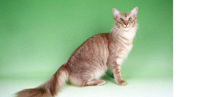 Javanese kedisi
