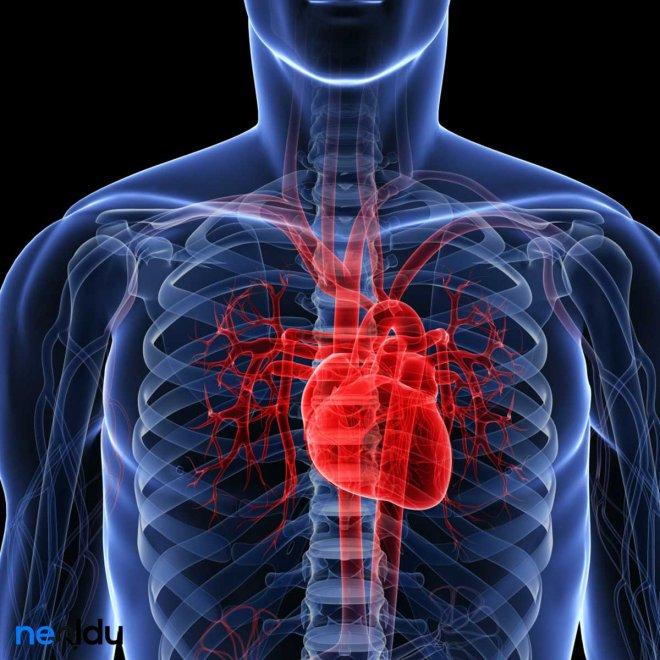 kalbin-yapisi-nasildir-010.jpg