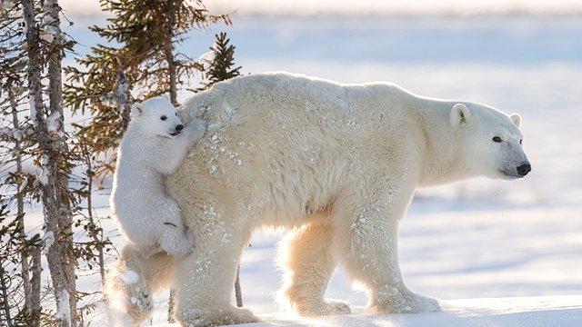kanada hakkında bilinmesi gereken ilginç bilgiler kutup ayısı başkenti