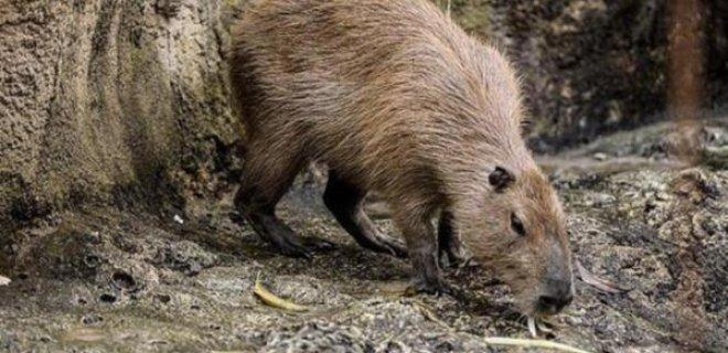 kapibara-.jpeg