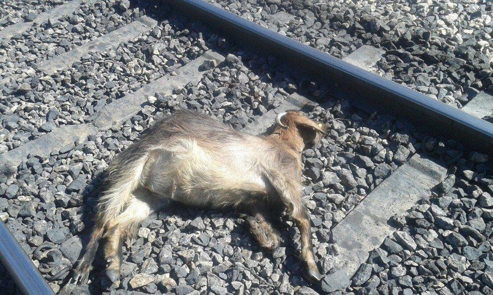 keçilere tren çarptı