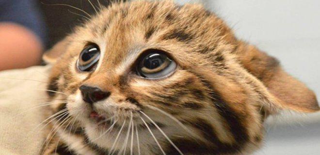Kedilerde Görülebilen Kulak Hastalıkları