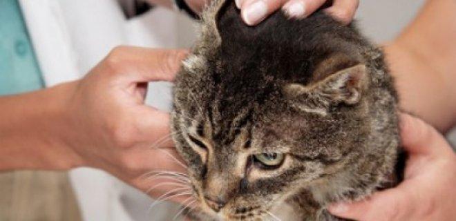 Kedilerin Kulak Bakımı Nasıl Olmalı?