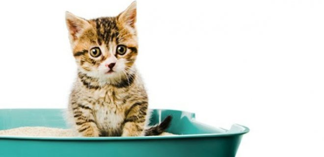 Yavru Kedilerde Tuvalet Eğitimi Nasıl Olmalı?