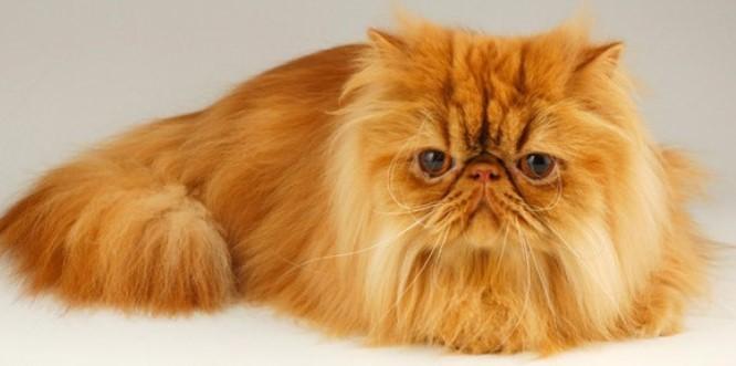 kedi-cinsleri-ve-ozellikleri-001.jpg