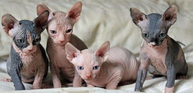 kedi-cinsleri-ve-ozellikleri-009.jpg