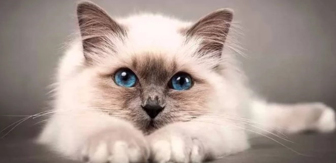 kedi-cinsleri-ve-ozellikleri-012.jpg