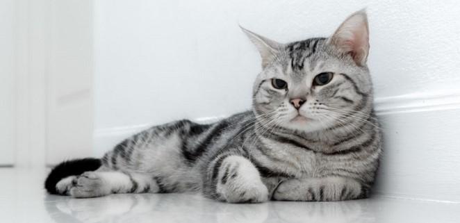 kedi-cinsleri-ve-ozellikleri-014.jpg