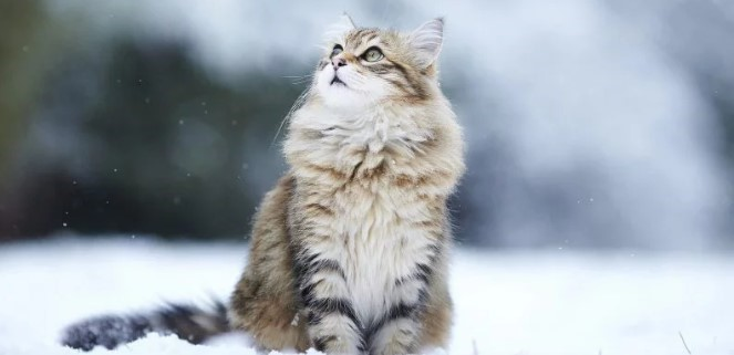 kedi-cinsleri-ve-ozellikleri-015.jpg