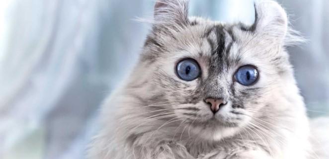 kedi-cinsleri-ve-ozellikleri-017.jpg