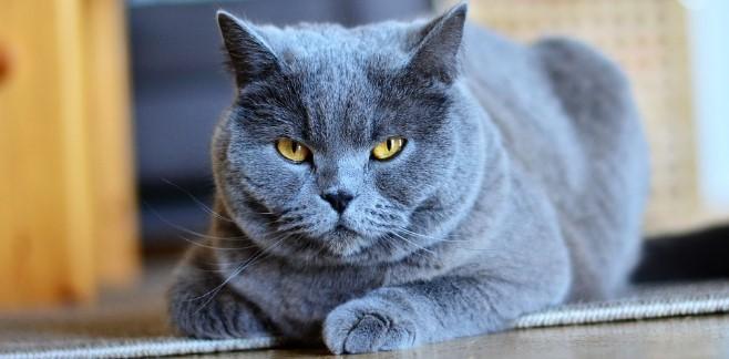 kedi-cinsleri-ve-ozellikleri-018.jpg