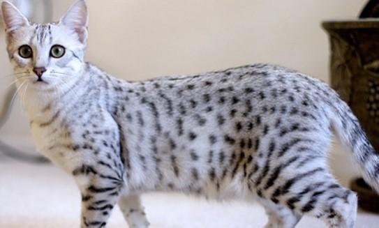 kedi-cinsleri-ve-ozellikleri-020.jpg