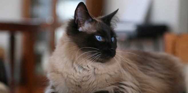 kedi-cinsleri-ve-ozellikleri-024.jpg